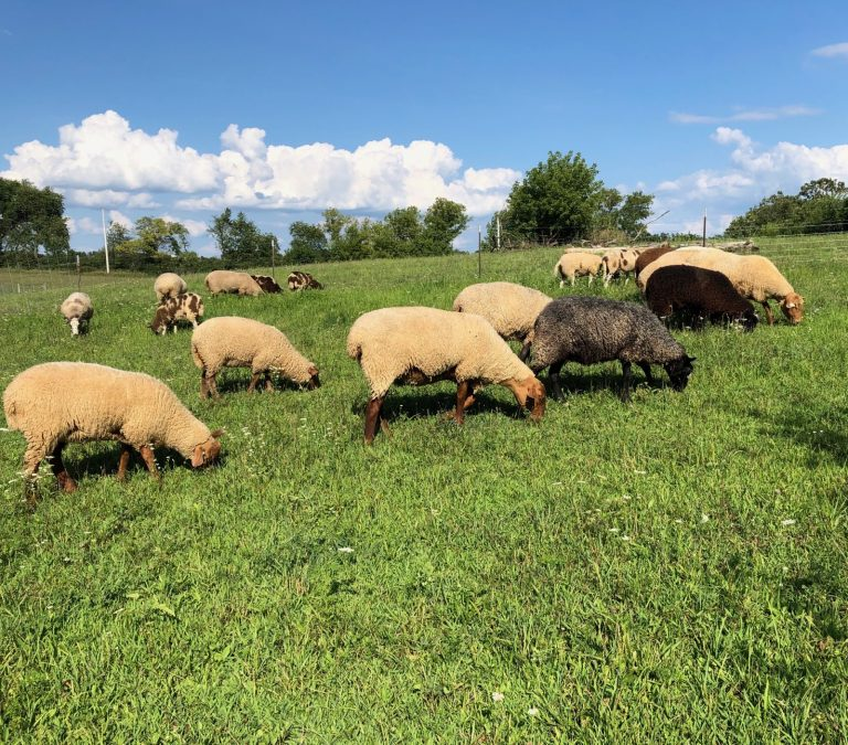 Herd of sheep pasture grazing on a summer day